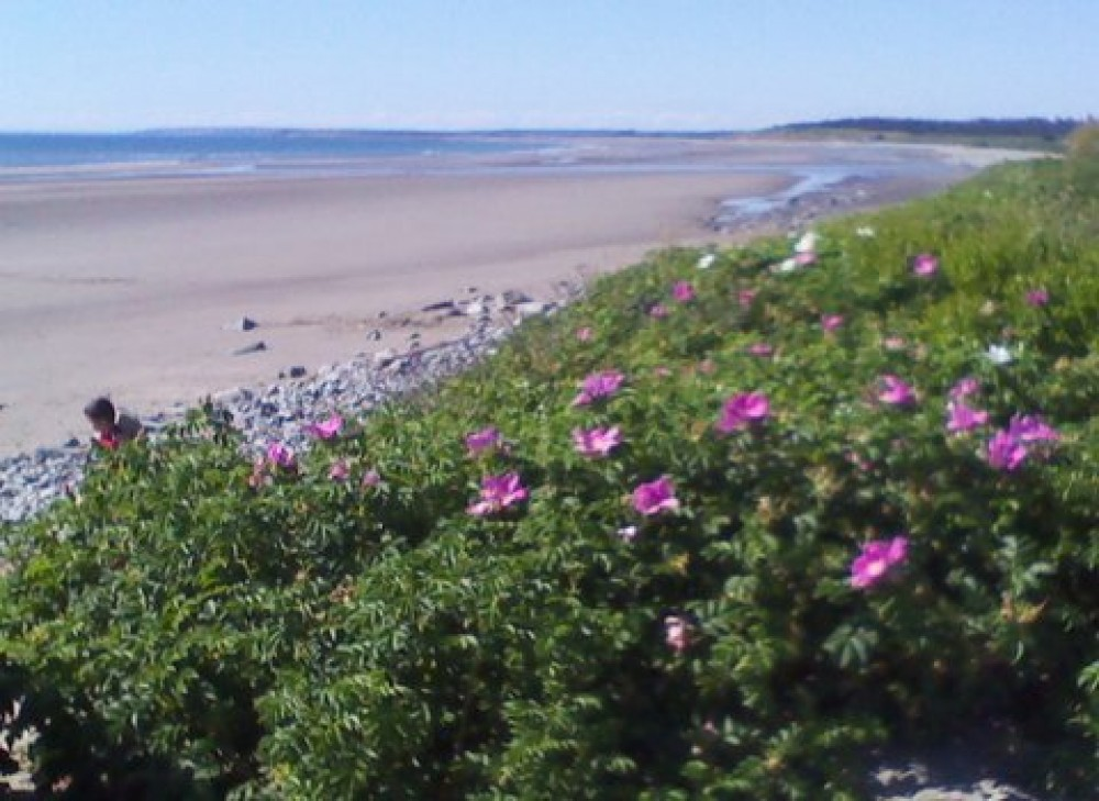 Yarmouth vacation rental with roses on the beach
